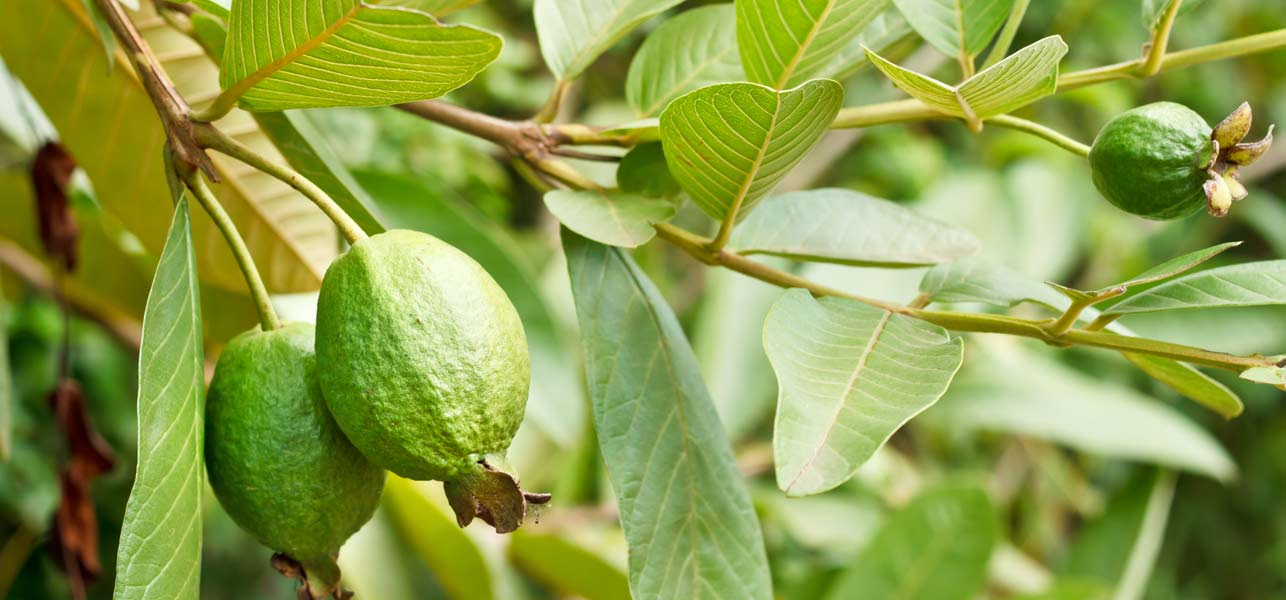 Guayaba  definition of Guayaba by The Free Dictionary