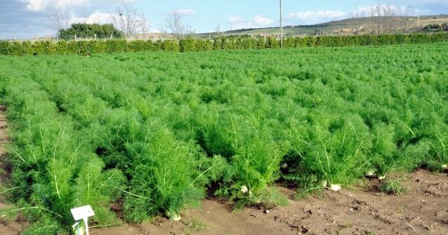 Fennel Plants