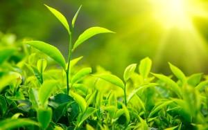 Tea - A divine Herb - Potential health benefits of tea green-tea-leaves