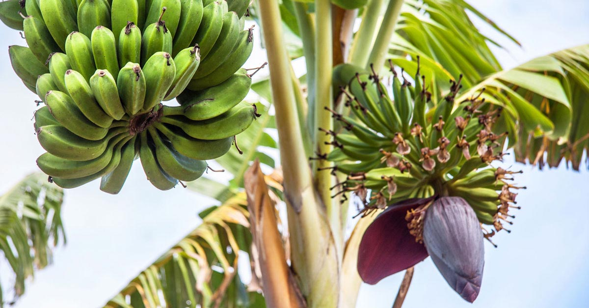 Banana-Tree-Ethakka-Nature's-Gift-For-Your-Health-Ehtkaa podi