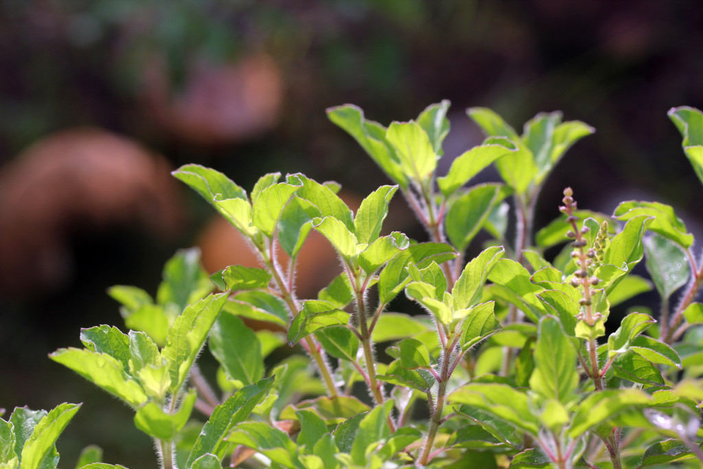 Basil - A Natural Remedy For Many Diseases
