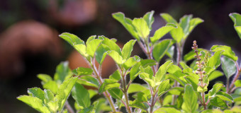 Basil – A Natural Remedy Against Many Diseases