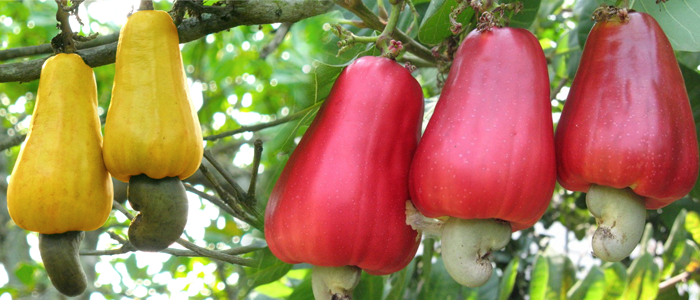 Cashew Tree with fruit Cashew apple