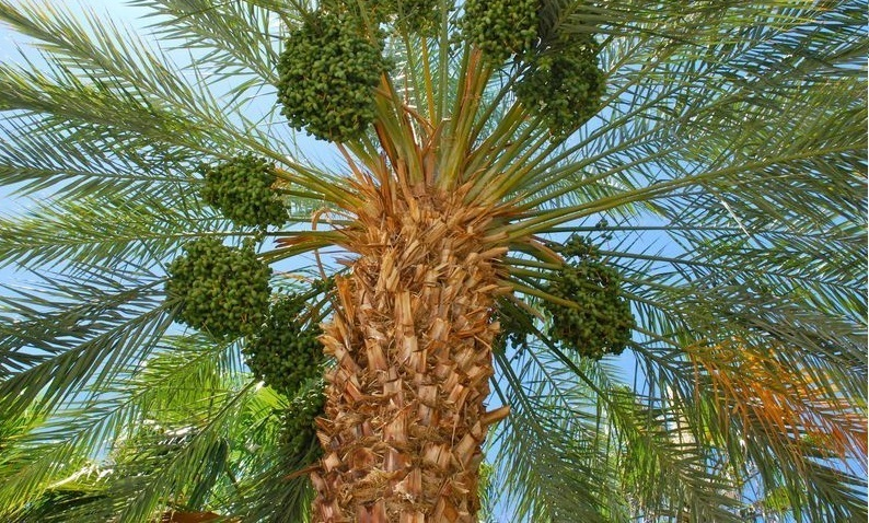 Dates Tree - Raw Dates Date Fruit – Date –Palm –Tree of Life