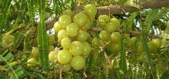 Gooseberry – A Natural Health Rejuvenator
