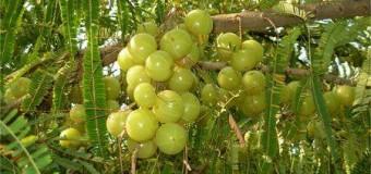 Gooseberry – A Natural Health Rejuvenator
