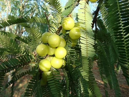 Gooseberry - A Natural Health Rejuvenator