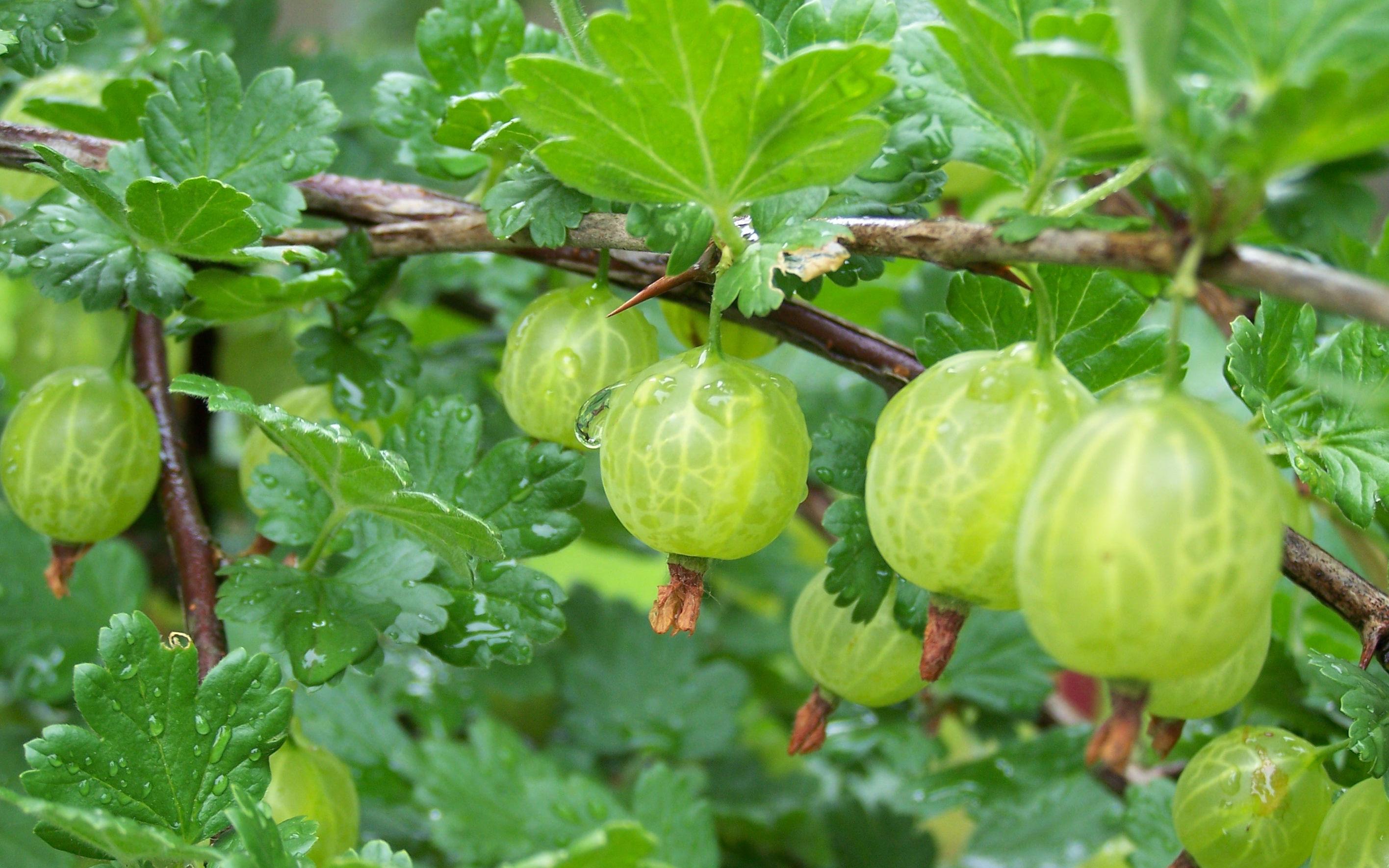 Gooseberry - A Natural Health Rejuvenator
