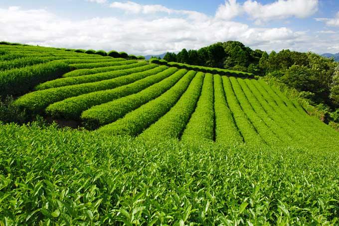Green tea plantations
