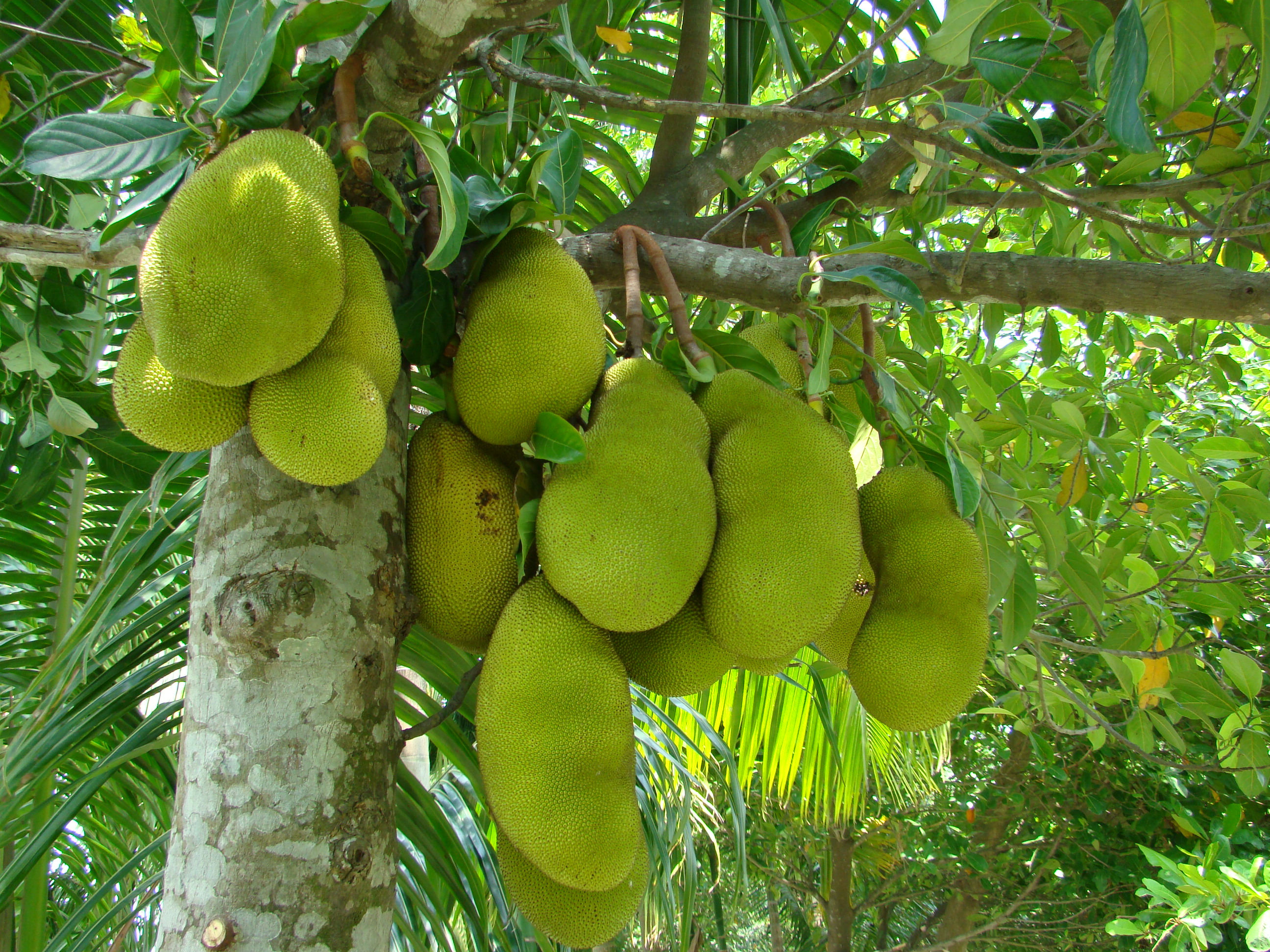 Jackfruit Tree-Jackfruit Tree (പ്ലാവ്) largest and tallest evergreen tree