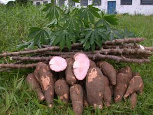 Kappa-Cassava-Tapioca