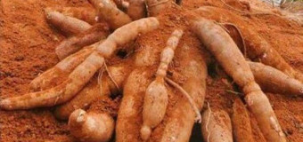 Kappa-Tapioca-Maracheeni-The Layman's Root