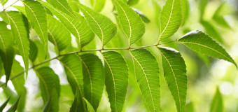 Neem Leaves – The one which keeps all diseases at bay