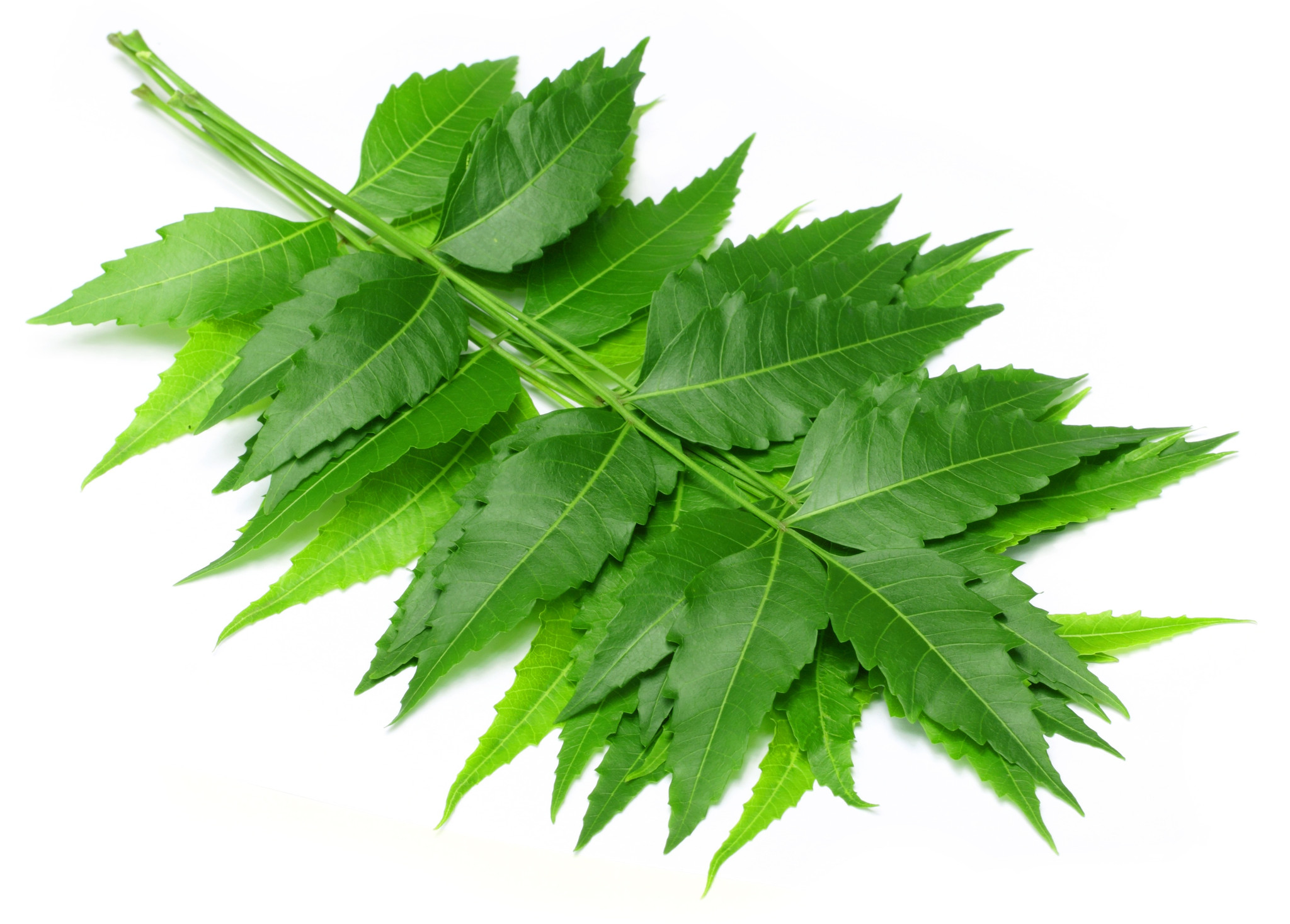 Neem leaves and its uses