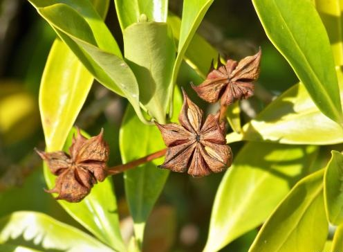 Star Anise Plant with seeds and flower