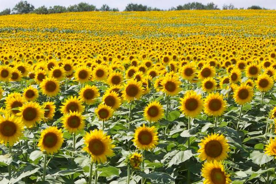 Sunflower Plantations