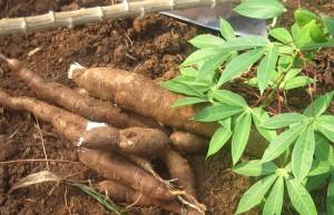 Tapioca -kappa-Maracheeni -Cassava Plants