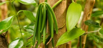Vanilla – The orchid with a Commercial Fruit