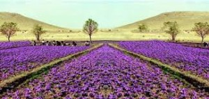 Saffron cultivation in Kashmir