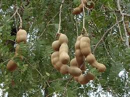 A fruiting tree from native Africa
