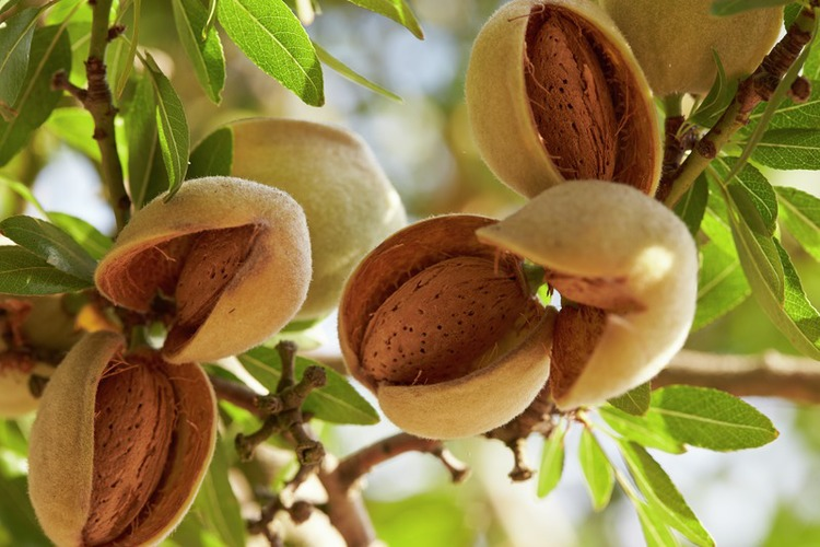 Almonds - One small step to heart health - A versatile tree nut Almonds ബദാം കായ്‌ The most nutrient-dense nut