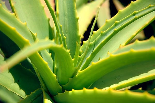 Aloe Vera - A Nutritious plant with short and fleshy ...