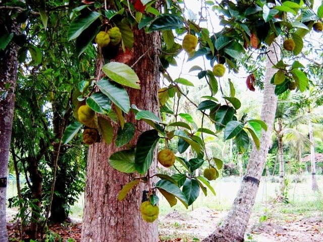 Anhili tree - anhili vila- anihili fruit