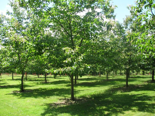 Chestnut trees