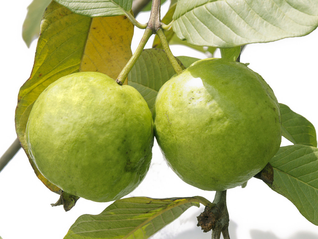 Fresh-Guava-tree with fruit-perkka-keralal nadan fruits