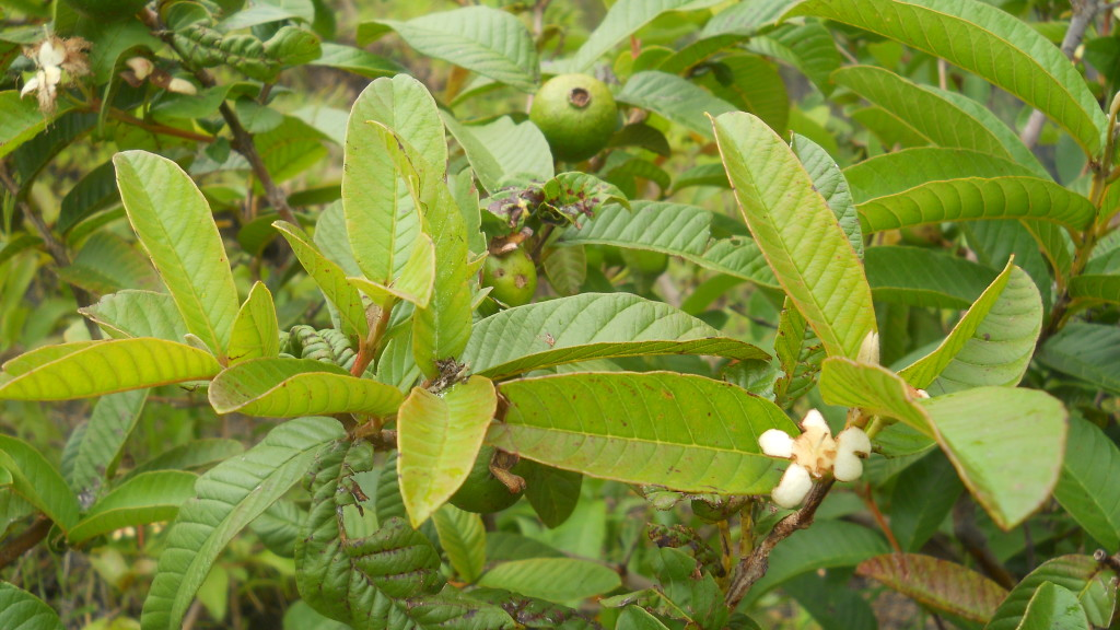 Guava leaves - The leaves with immense medicinal value
