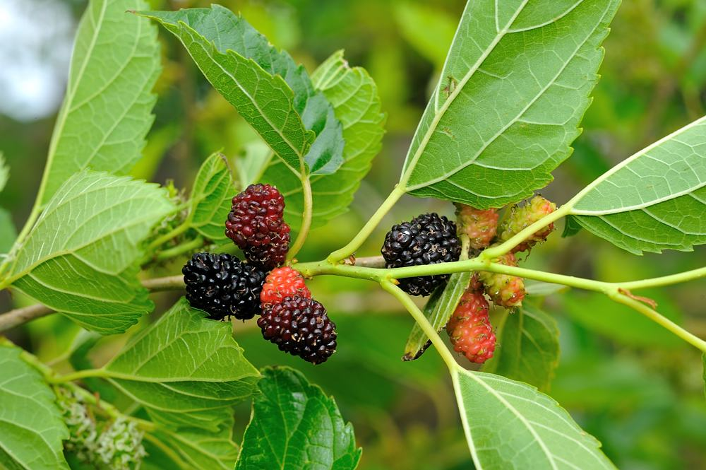 Have you heard of the health benefits of Mulberries. Is it really useful for our body