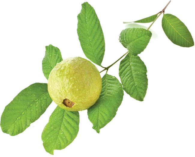 Guava leaves - The leaves with immense medicinal value ...