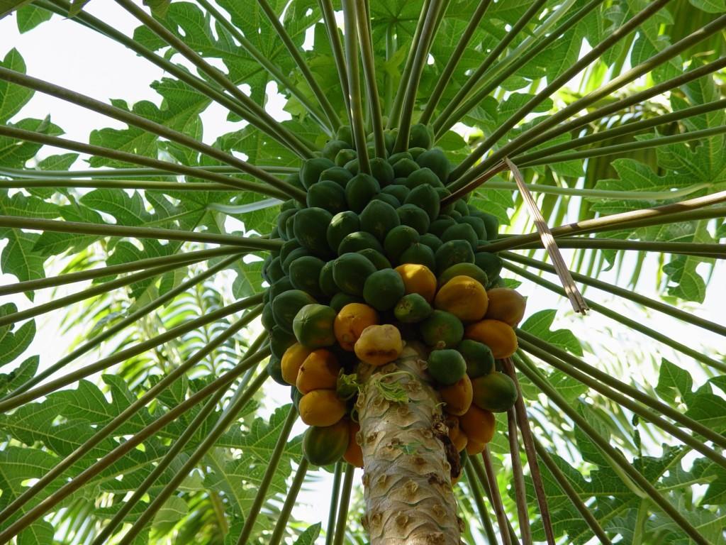 Kerala fruis -papaya-kaplanga-pazham
