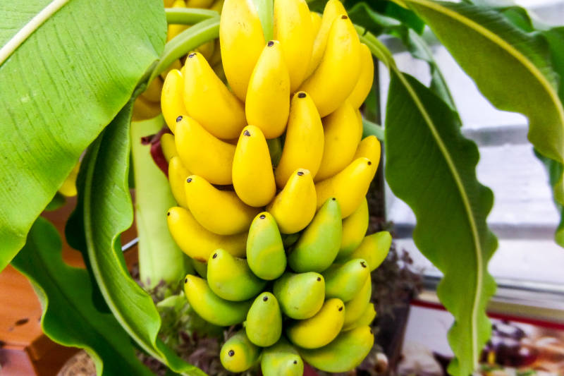 Kerala fruits banana -vazha pazham