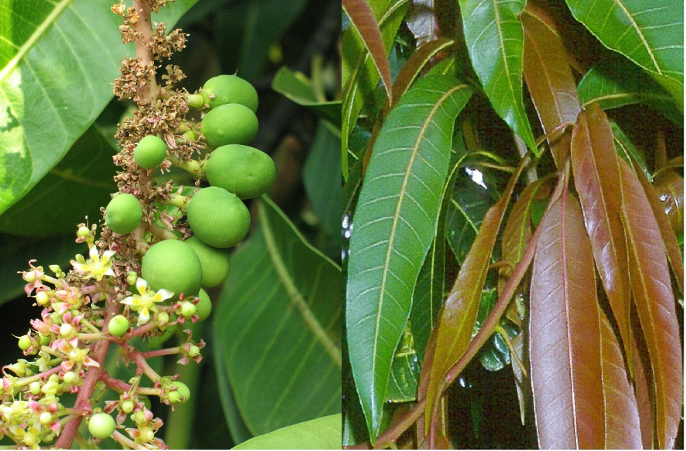 Mango flower and leaves-Mango Flowers ,Leaves ,Fruits and Seeds - Medicinal uses and values,health properties and benefits,culinary uses