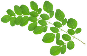 Green leafy vegetable moringa