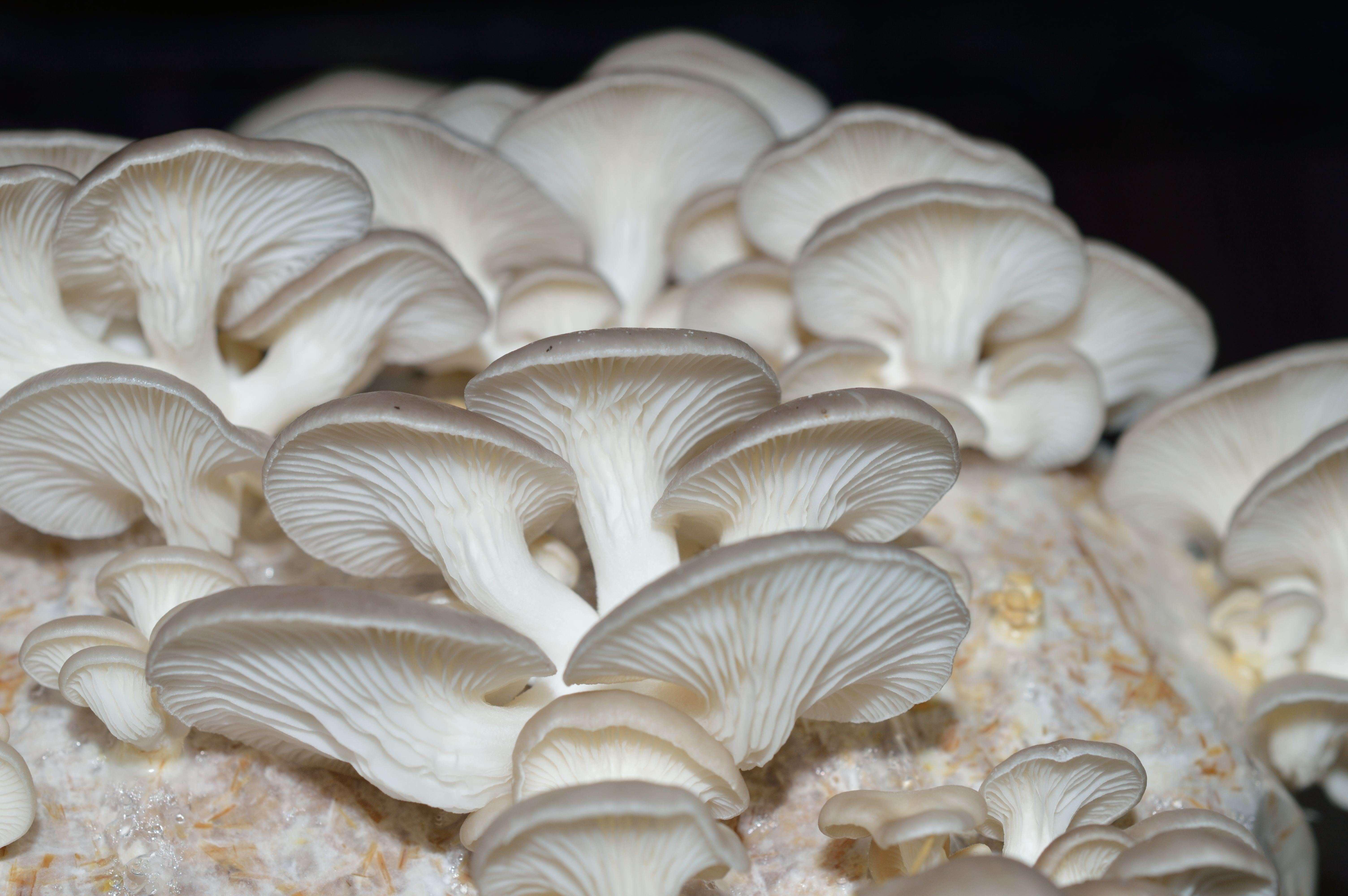 Mushrooms cultivation