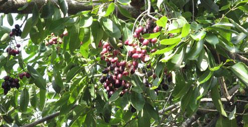 Njaval fruit-njara pazham tree-kerala nadan fruit