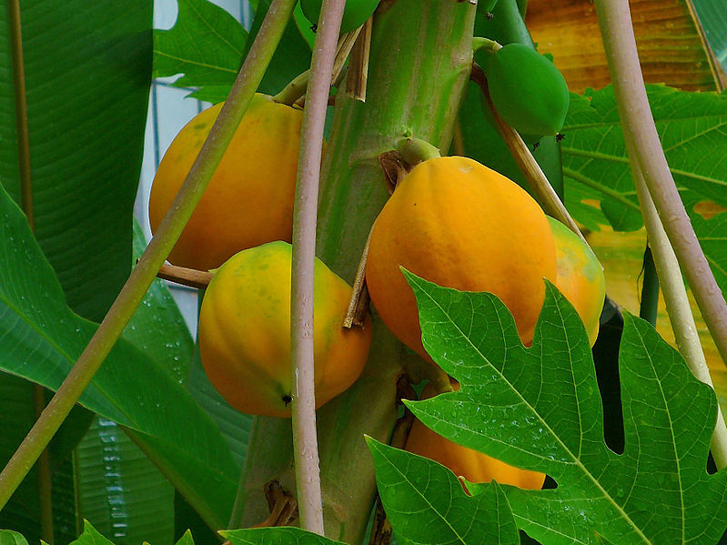 Papaya ( Carica papaya) is an ideal fruit for growing in kitchen gardens