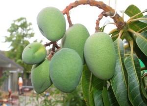Raw -mango -tree- Mango Fruit - (Mangifera indica) (Mampazham)-The king of fruits - National fruit of India