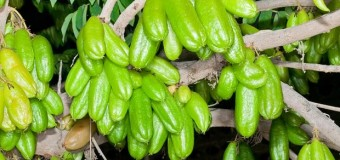 What's the benefit of using bilimbi fruits in our diet? Does it have any health benefits?