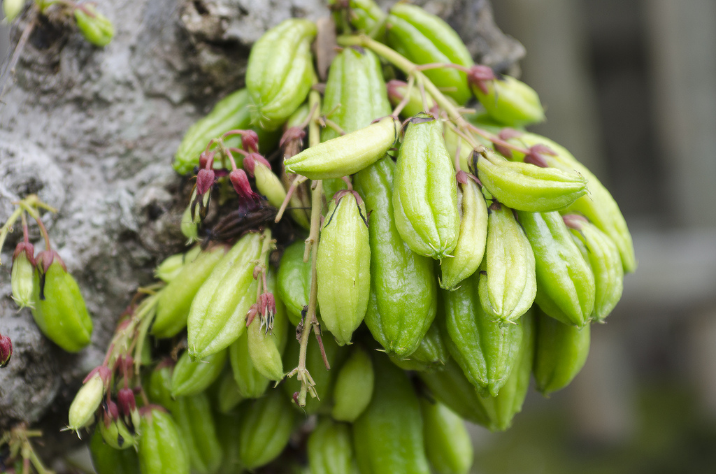 What's the benefit of using bilimbi fruits in our diet