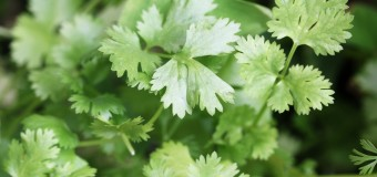 What's the health benefits of using Coriander leaves? Can it be used in our diet?