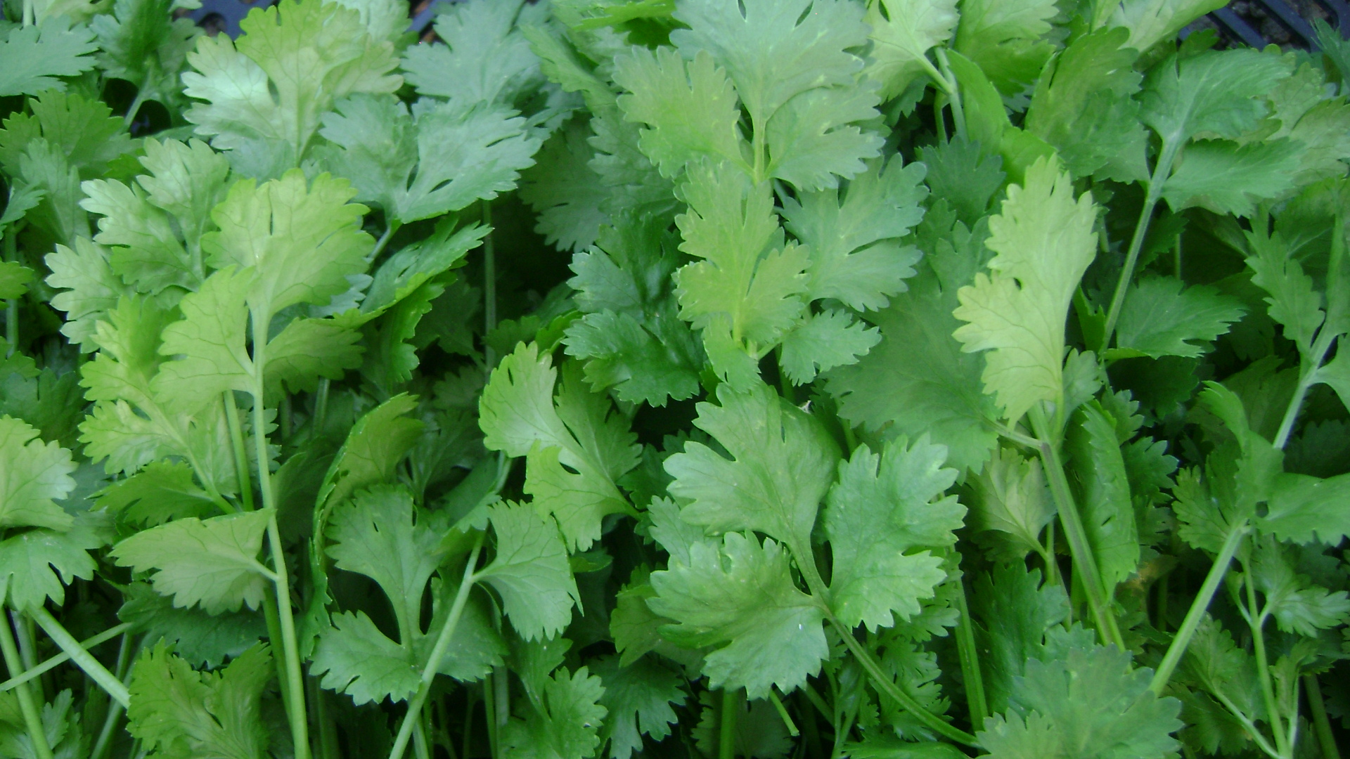 What's the health benefits of using Coriander leaves