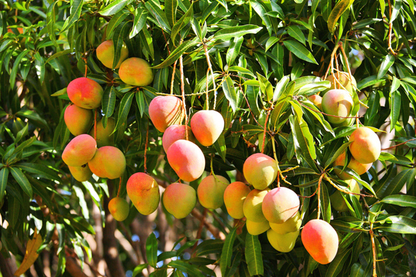 mango tree-mavu-kerala fruits -Mango Fruit - (Mangifera indica) (Mampazham)-The king of fruits - National fruit of India