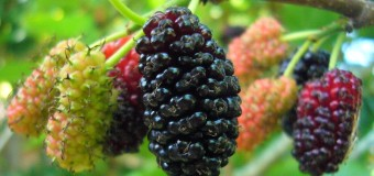 Have you heard of the health benefits of Mulberries? Is it really useful for our body?