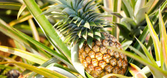 Pineapple – Nature's Healing Fruit
