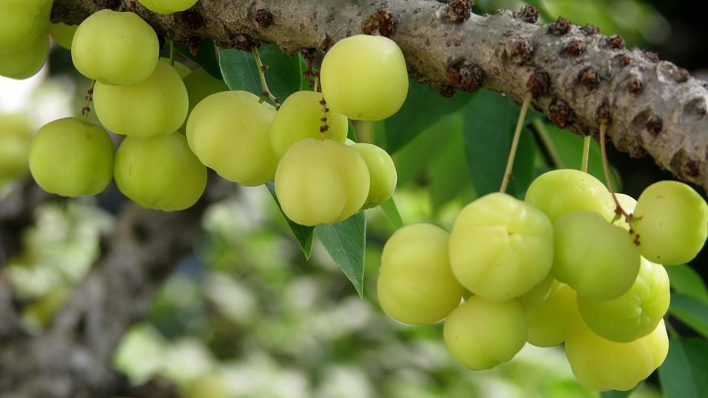 star gooseberry-arinellikka-sheema neelli