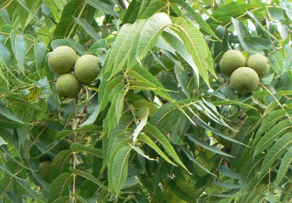 walnut tree with raw walnut