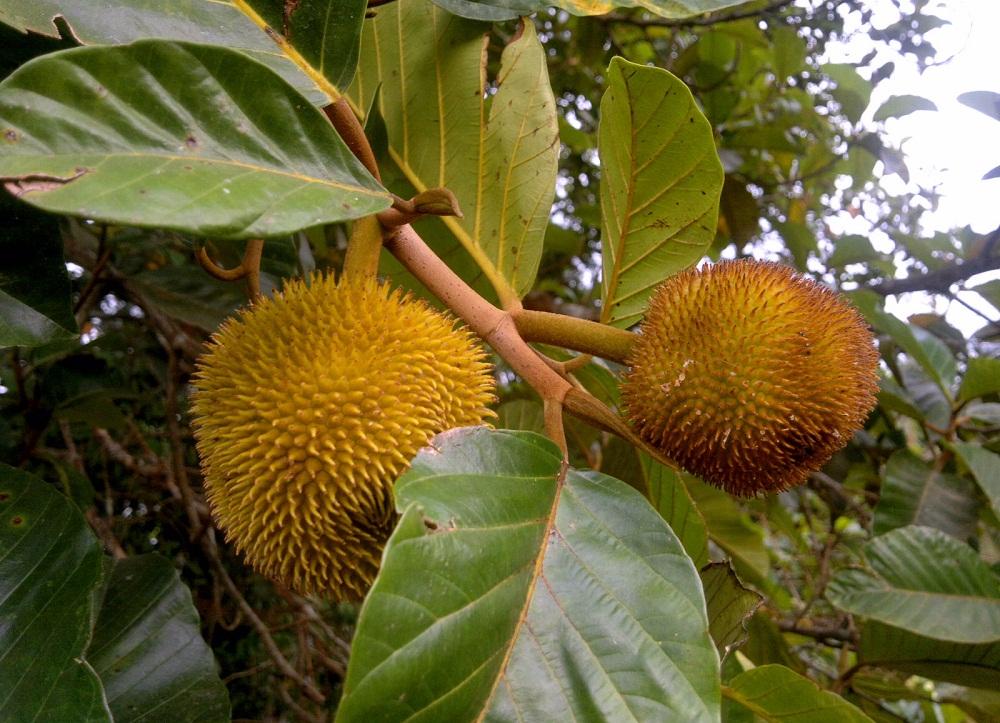 Anjili Chakka Wild Jack Fruit (Artocarpus hirsutus)